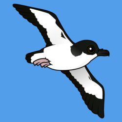Newell's Shearwater (flight)