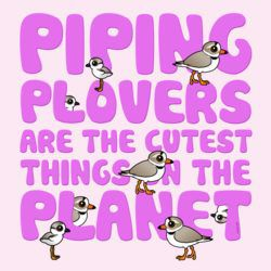 Piping Plovers are the Cutest