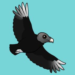 Flying Black Vulture