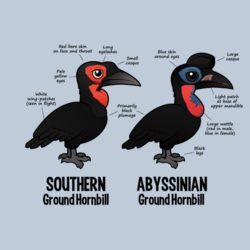 Compare Southern and Abyssinian Ground Hornbills