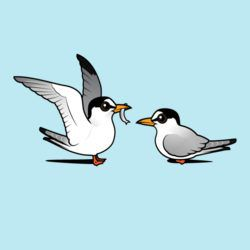 Least Tern Love