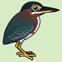 Cute Green Heron