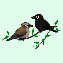 Rusty Blackbird Pair