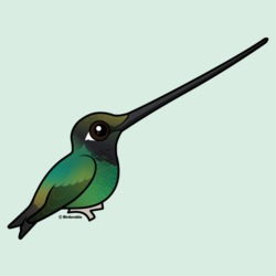 Cute Sword-billed Hummingbird
