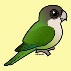 Grey-hooded Parakeet
