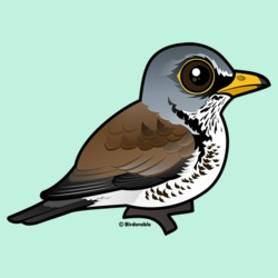 Cute Fieldfare