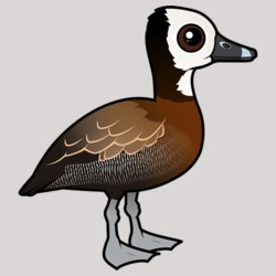 White-faced Whistling -Duck