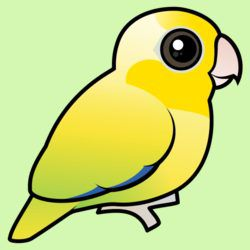 Cute Yellow Pacific Parrotlet