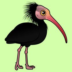 Northern Bald Ibis