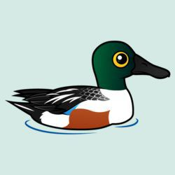 Swimming Northern Shoveler