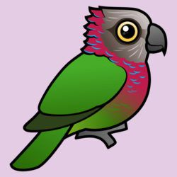 Red-fan or Hawk-headed Parrot