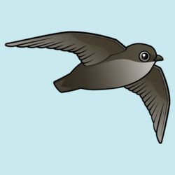 Flying Chimney Swift