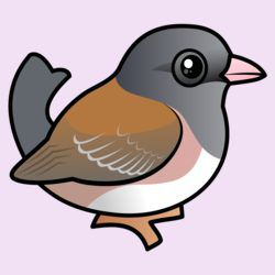 Pink-sided Dark-eyed Junco