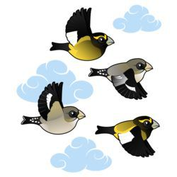 Evening Grosbeaks in flight