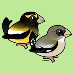 Evening Grosbeak pair