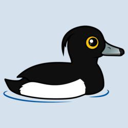Swimming Tufted Duck