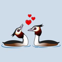 Great Crested Grebes in Love