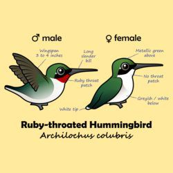 Ruby-throated Hummer Stats