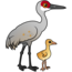 Sandhill Crane with Chick