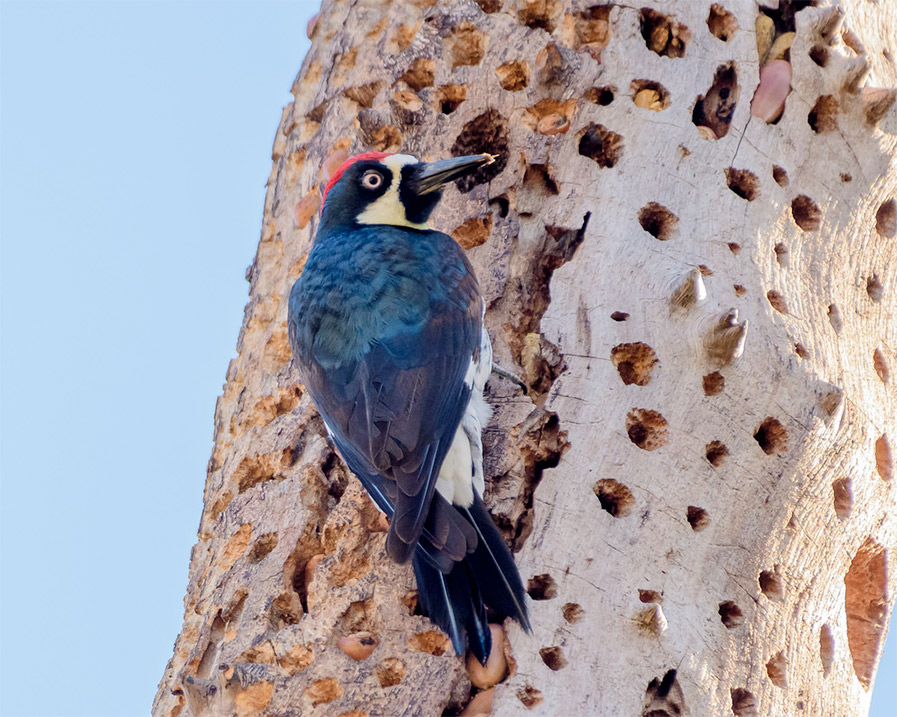 Photo of Acorn Woodpecker