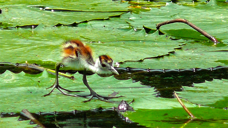 Photo of a baby African Jacana