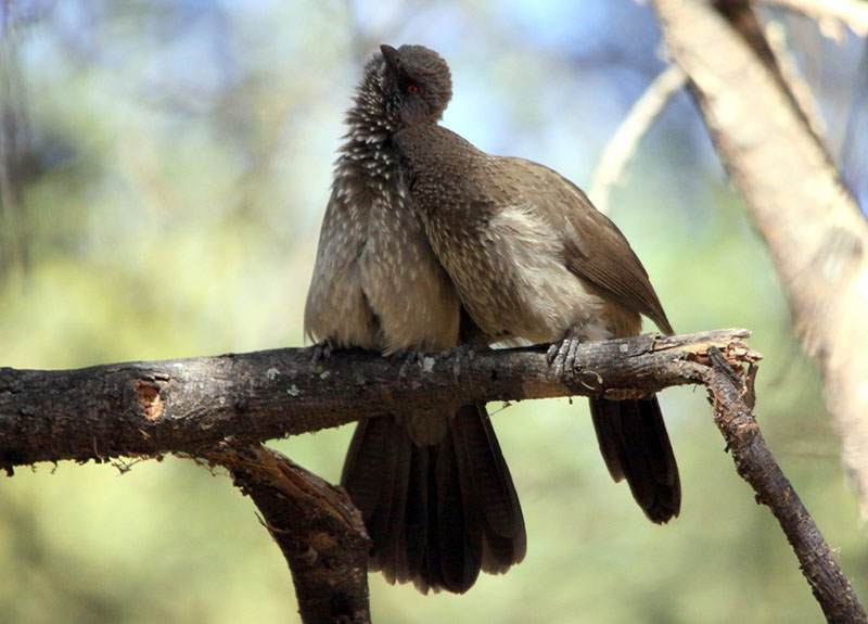 Allopreening Arrow-marked Babblers