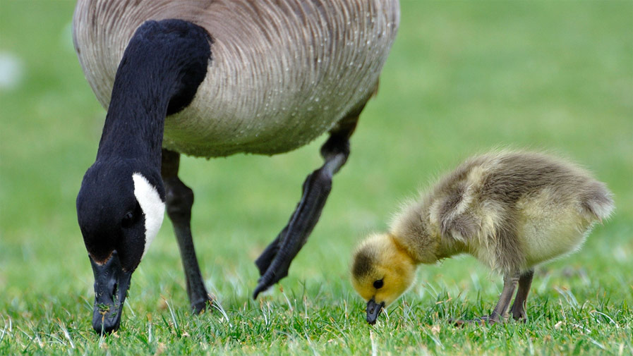 Adult Goose with Baby