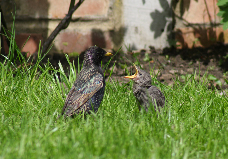 Adult and Baby Starlings