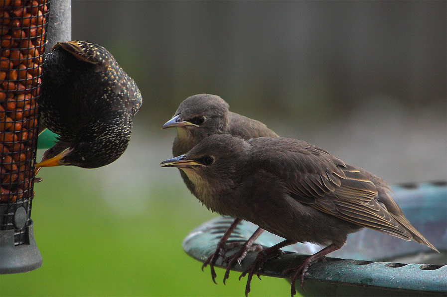 Mother and Baby Starlings