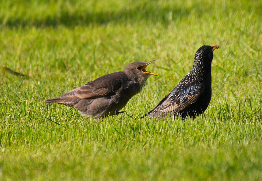 Adult with Baby Starling