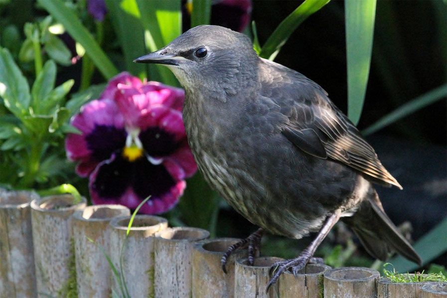 Young Starling
