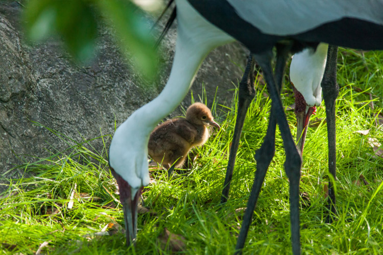 Photo of baby Wattled Crane