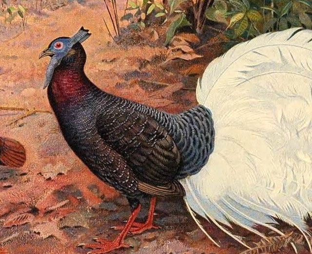 Drawing of a Bulwer's Pheasant
