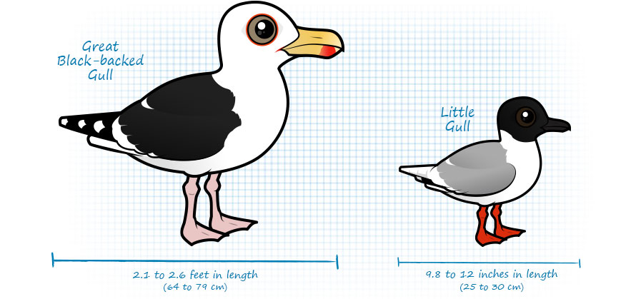 Compare sizes of Great Black-backed Gull and Little Gull