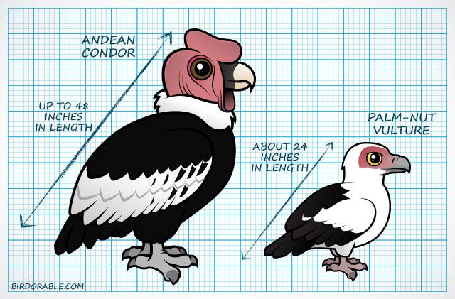 Compare sizes of Andean Condor vs. Palm-nut Vulture
