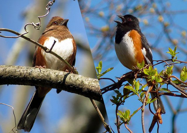 Eastern Towhee, female and male