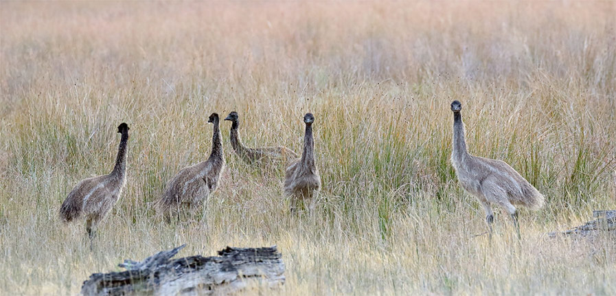 Emu dad with chicks