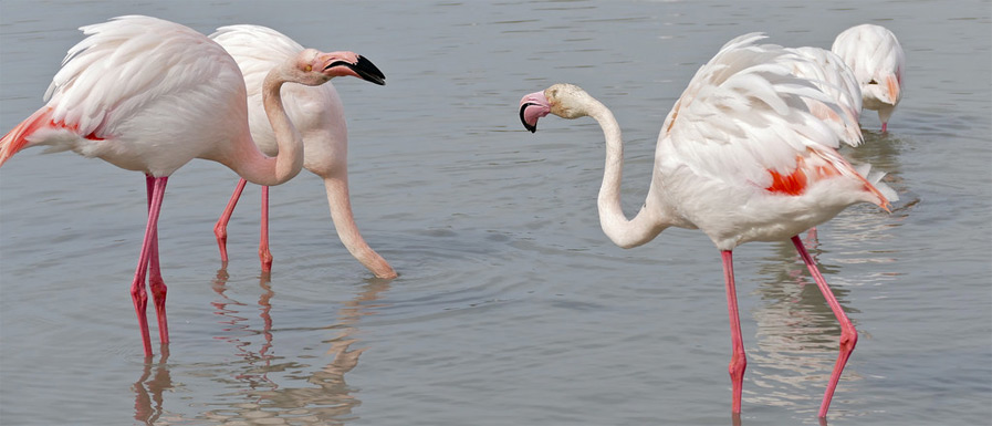 Greater Flamingo by Bernard DUPONT