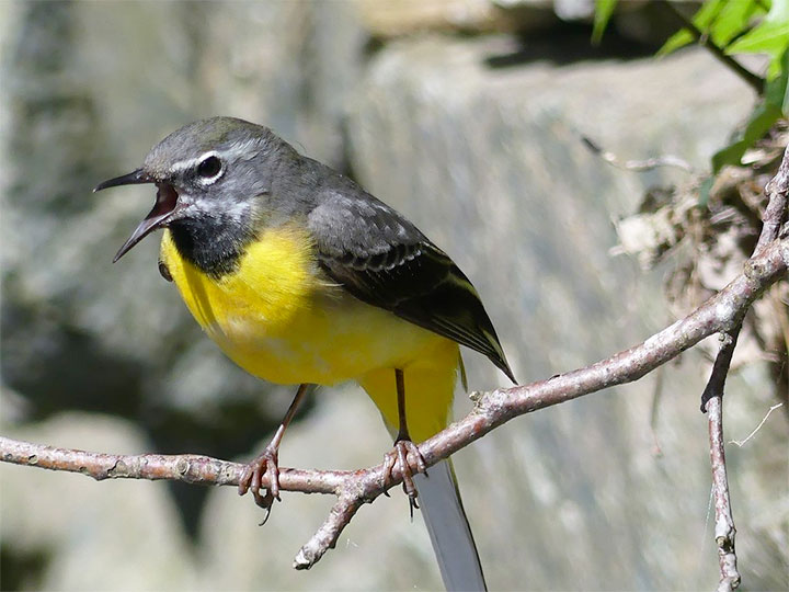 Grey Wagtail photo