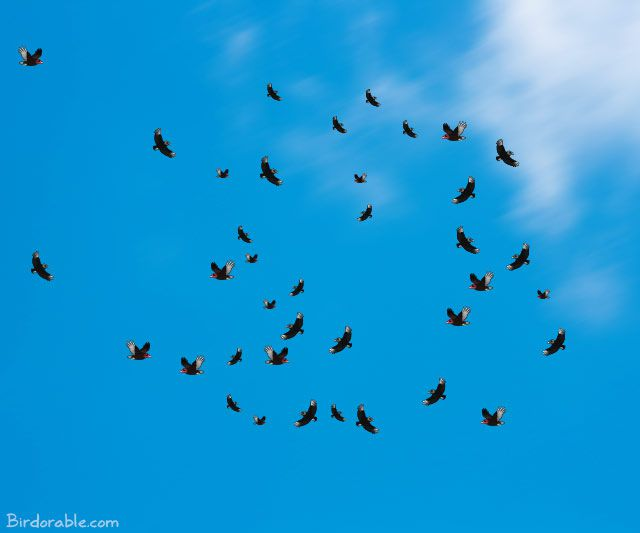 Vultures kettling in the sky