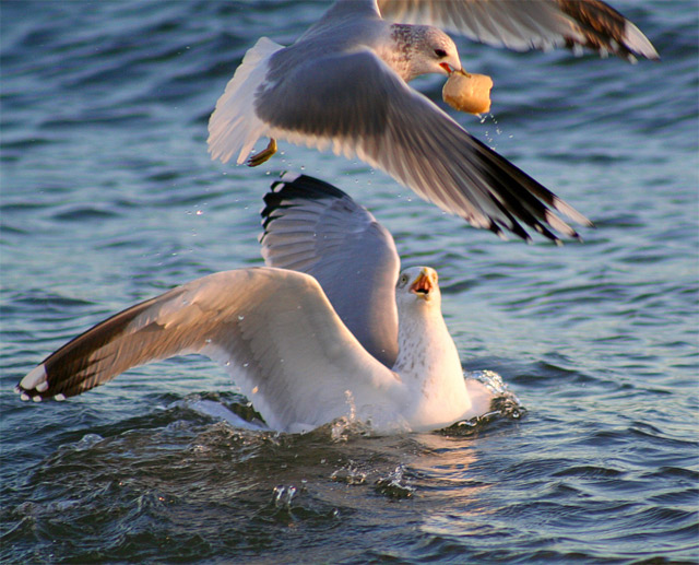 gulls stealing food
