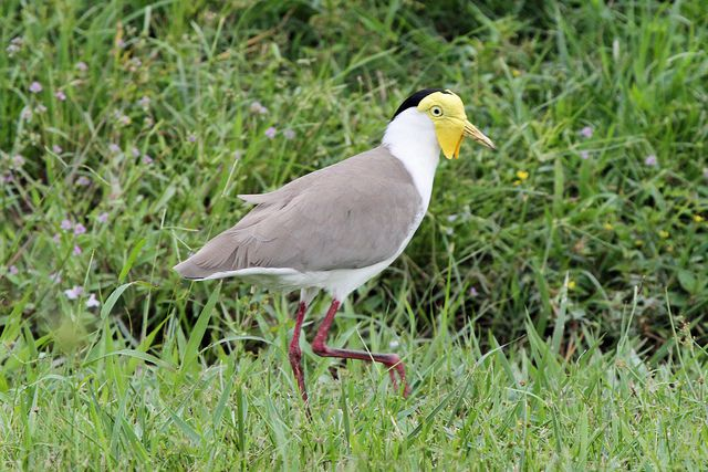 Masked Lapwing Photo