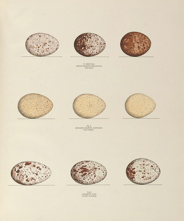 Bird egg illustrations