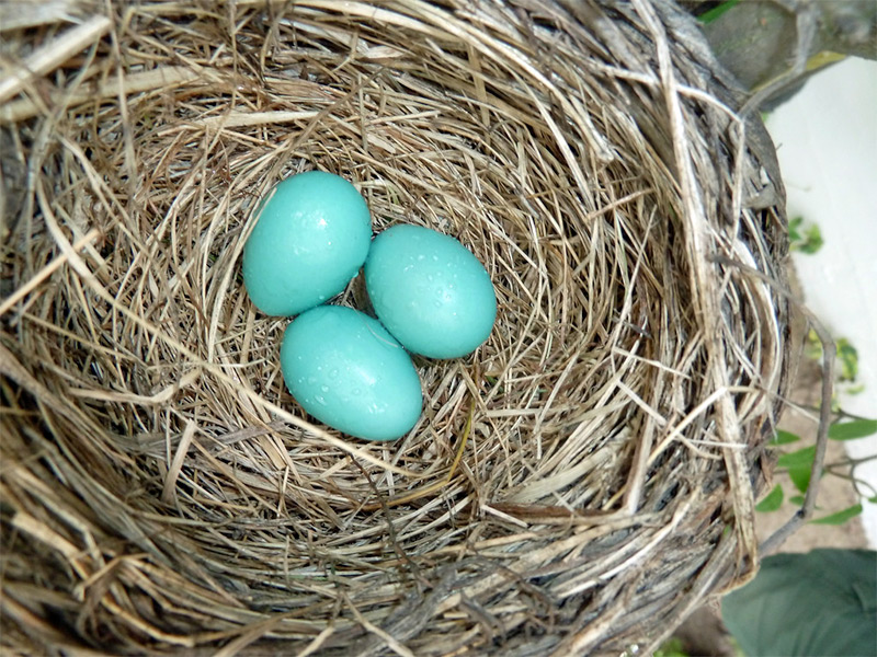 Blue eggs in robin next