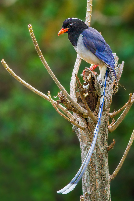 Red-billed Blue Magpie