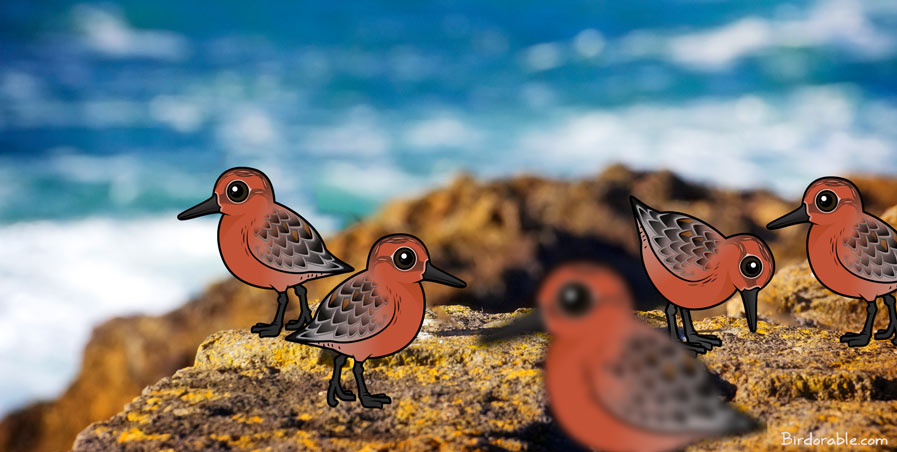 Birdorable Red Knots