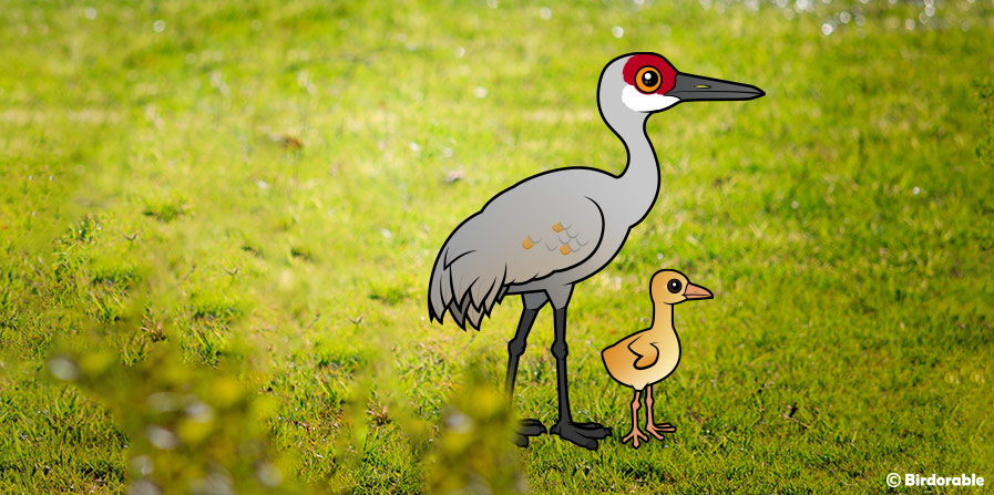 Parent Sandhill Crane with chick