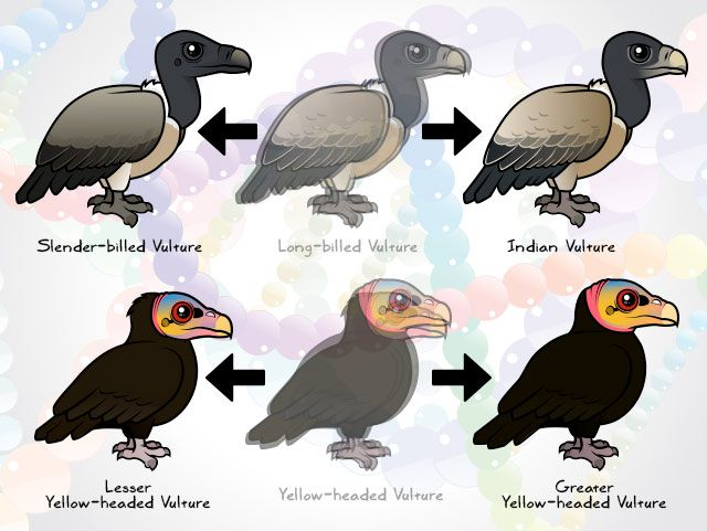 Split vulture species