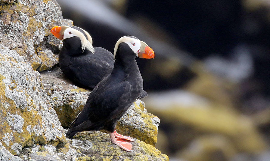 Tufted Puffins on a Rock