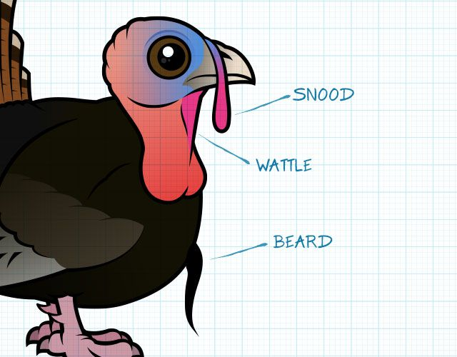 Snood, wattle and beard of a turkey